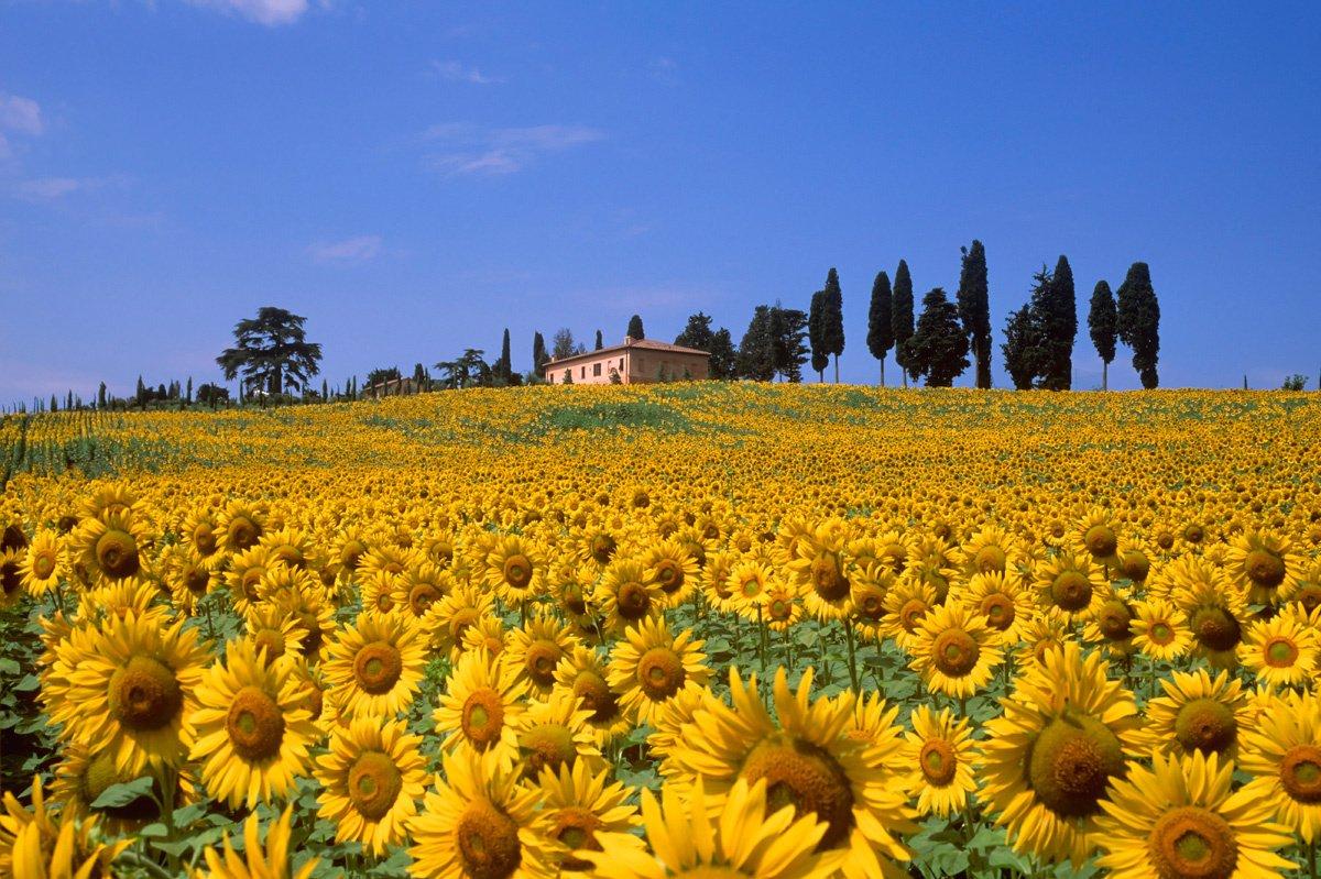 Подсолнечные Поля, Тоскана-Италия