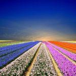 Самые красивые цветочные поля в мире