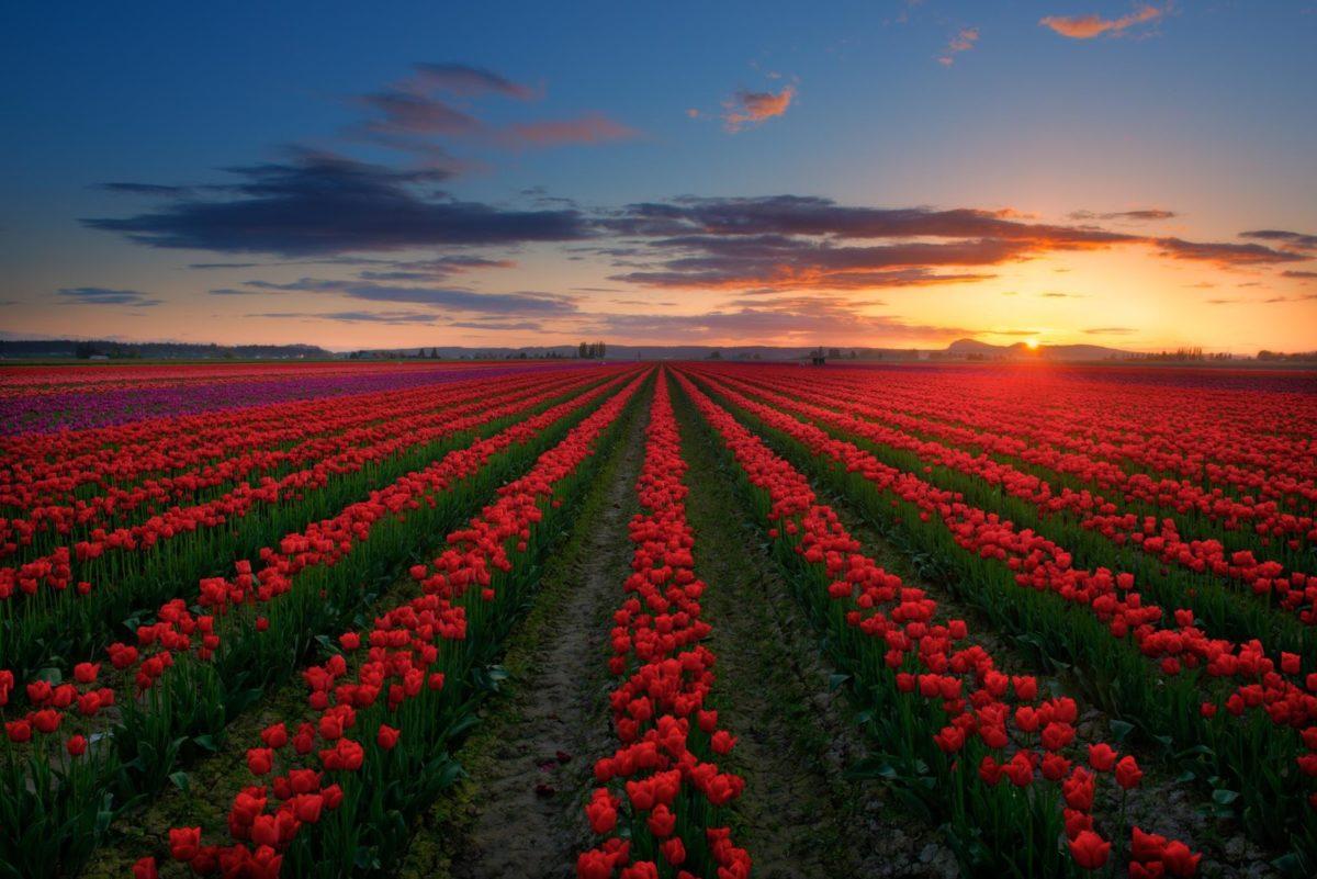 Фестиваль Тюльпанов В Долине Скагит-Вашингтон