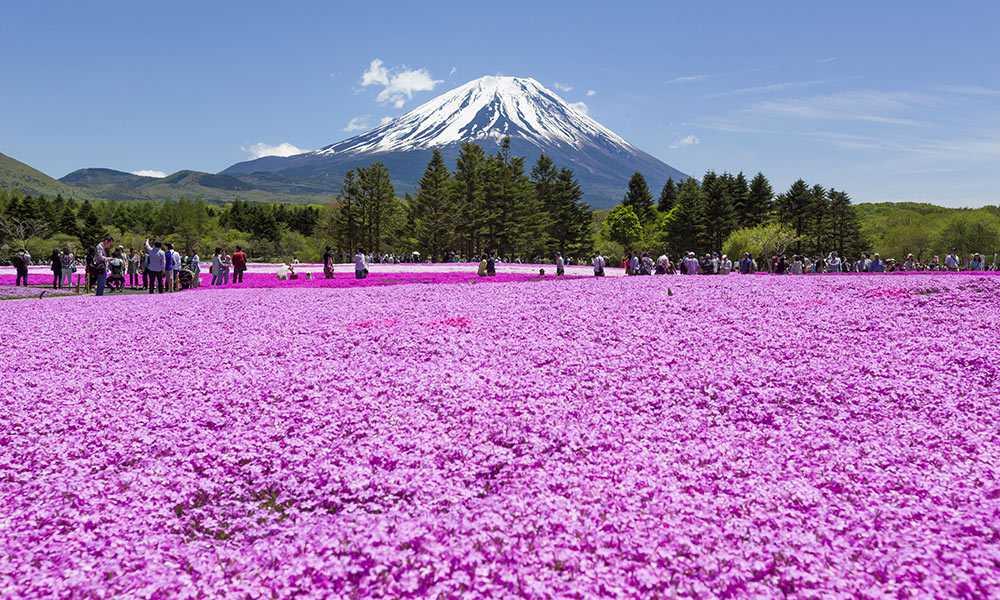 Фестиваль Цветов Фудзи Шибазакура-Япония
