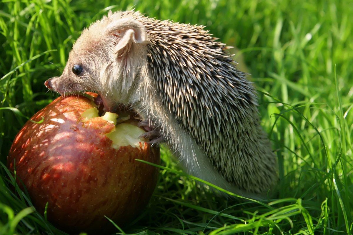Картинки ежика с яблоками