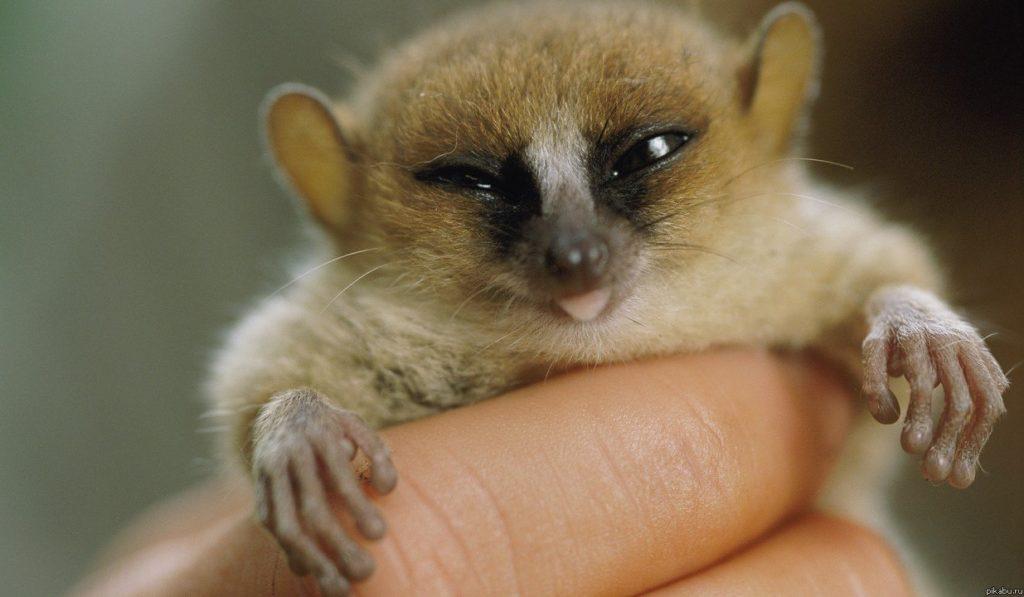 Мышонок мадам Берты, Лемур