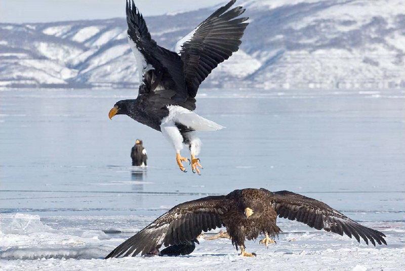 eagles of Rausu