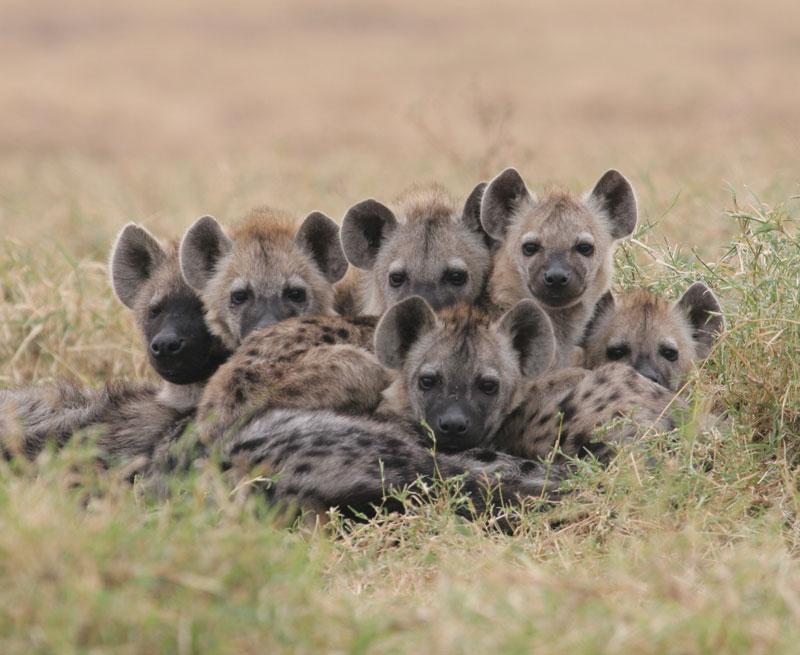 Пятнистые детеныши гиены