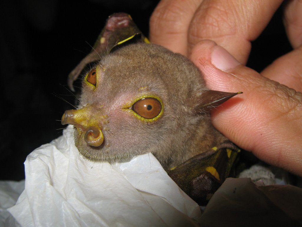 Летучая мышь с трубчатым носом