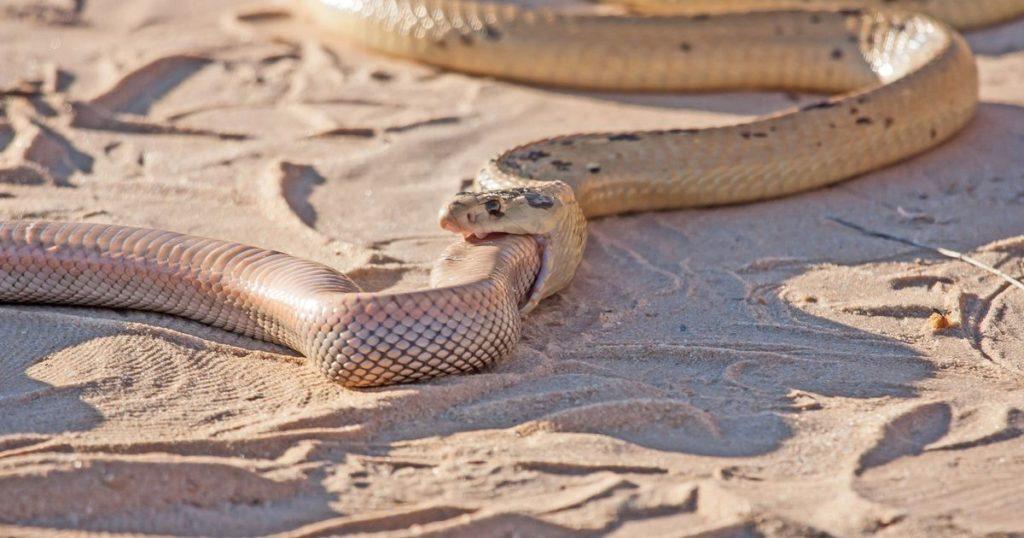 змея ест змею