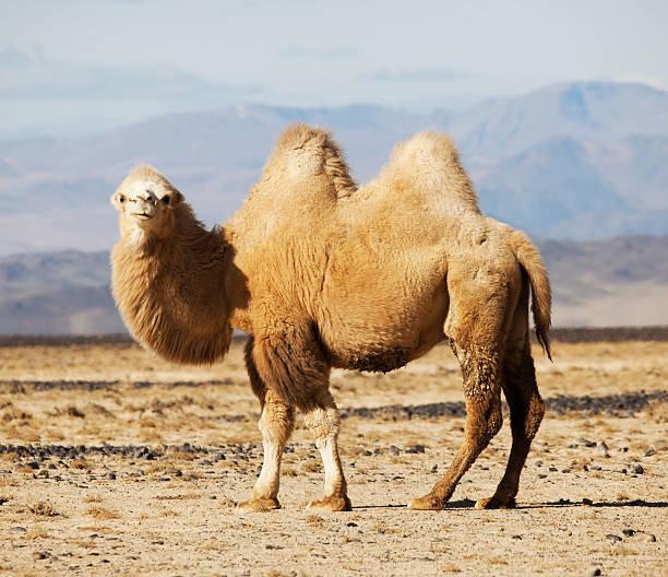 Двугорбый (бактрийский) верблюд