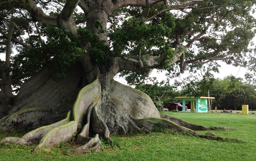 Дерево Капок