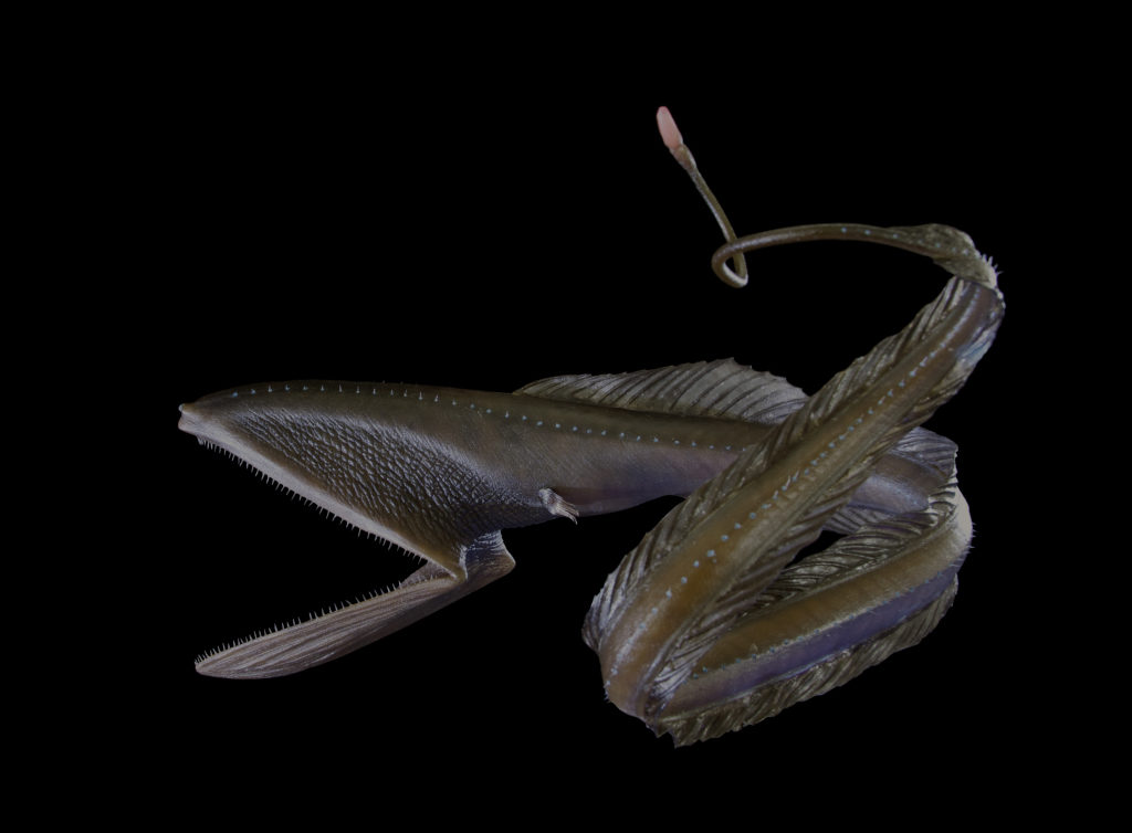 Рыба-пеликан