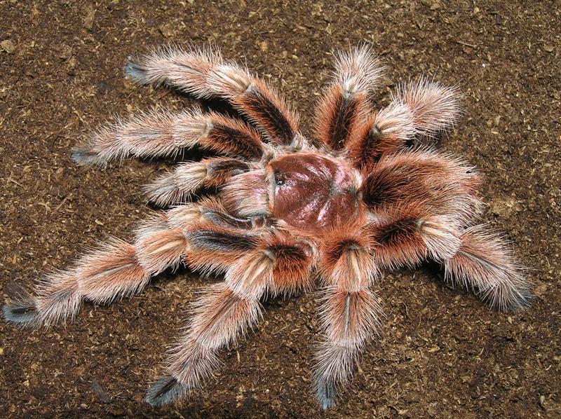 Чилийский розовый тарантул