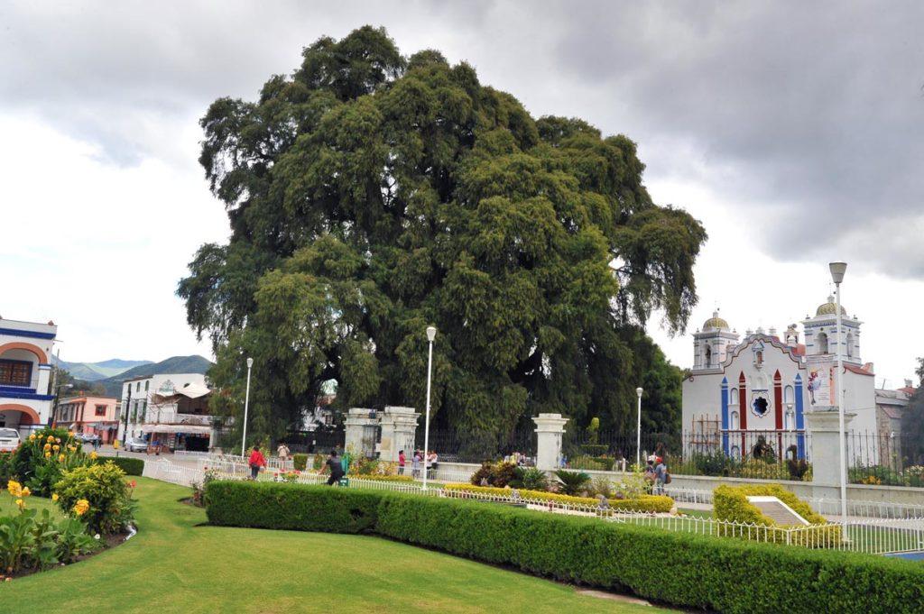 Дерево Туле, Оахака, Мексика