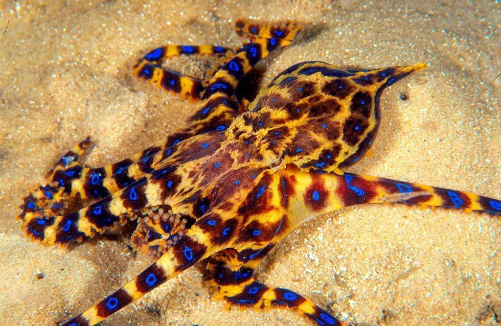 Голубокольчатый осьминог