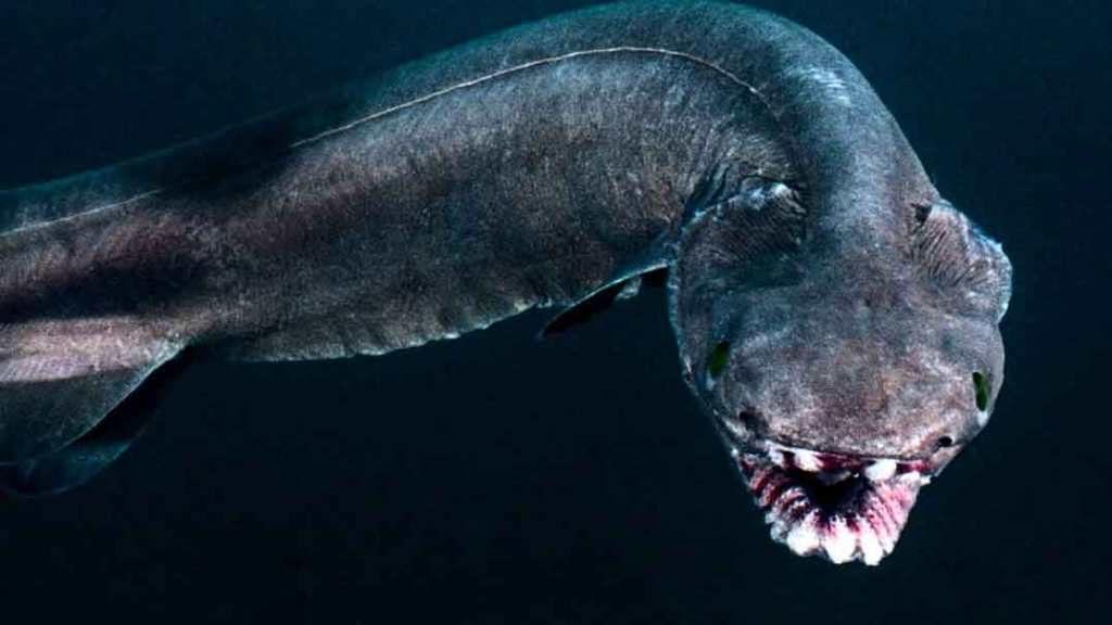 Гофрированная акула (плащеносная)