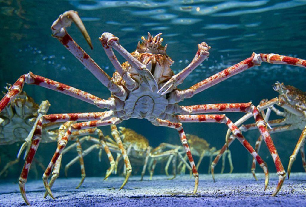 Гигантский краб-паук
