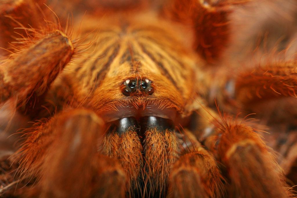 Какой паук считается самым большим