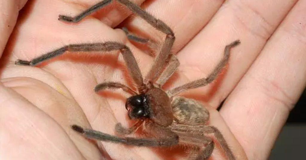 паук-охотник