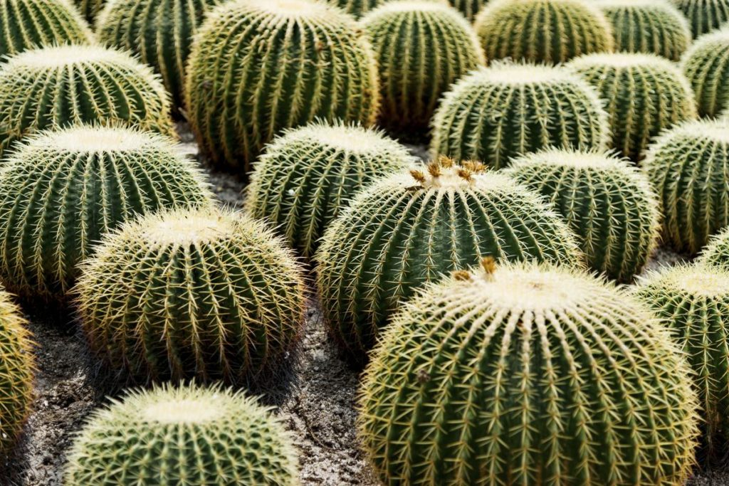 Бочонок кактуса