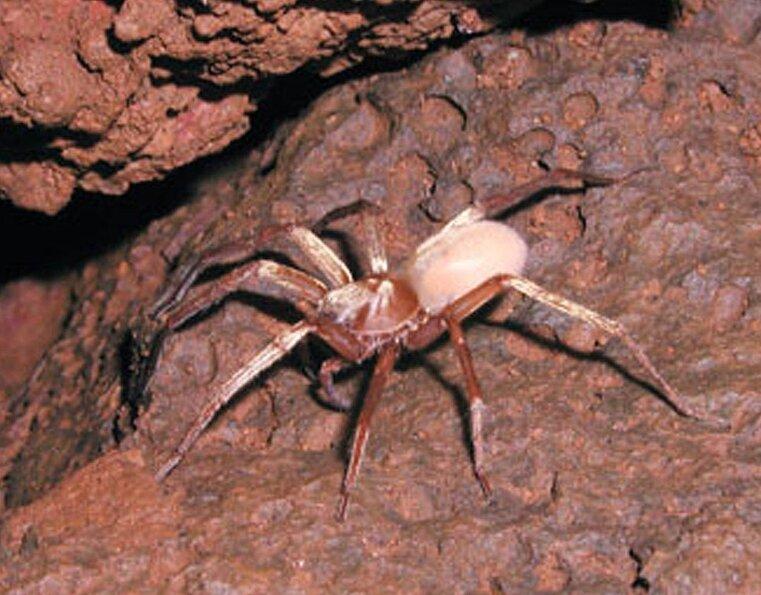 Пещерный паук-волк кауаи