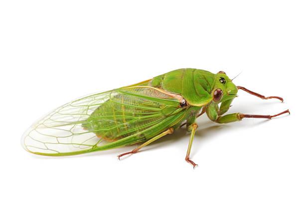 Цикада Зеленый бакалейщик