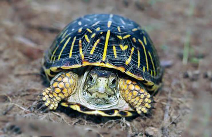 Коробчатые черепахи