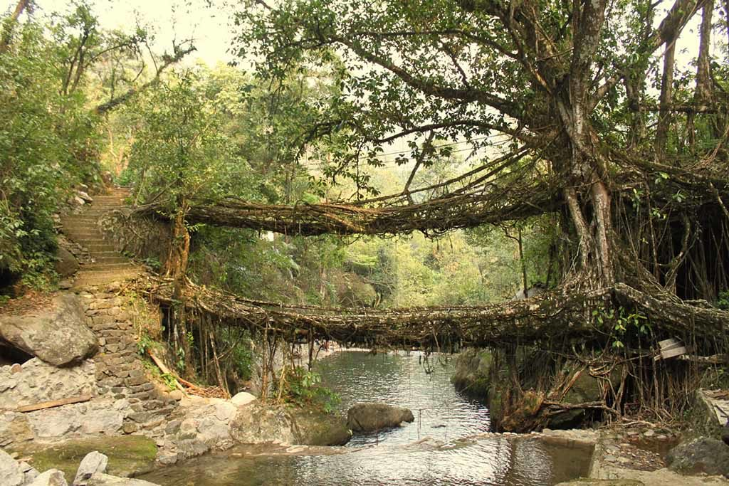 Живой корневой мост