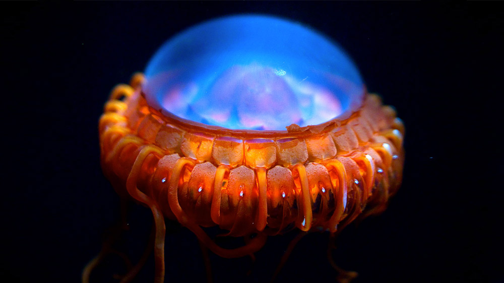 Коронная Медуза