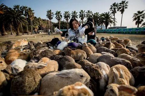 Кроличий Остров В Японии