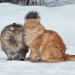 Топ-10 Крупнейших Пород Кошек
