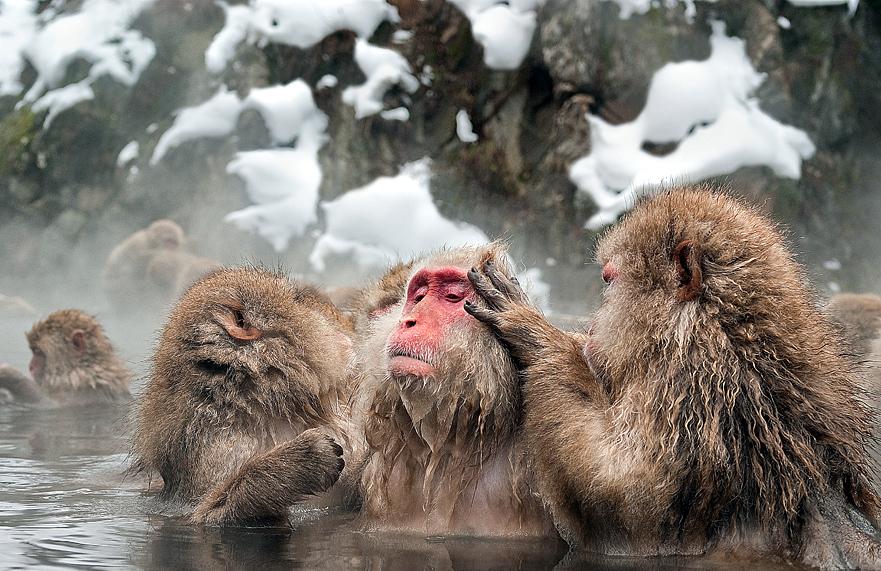 Парк снежных обезьян Дзесинъэцу Когэн (Jigokudani) в Японии национального парка