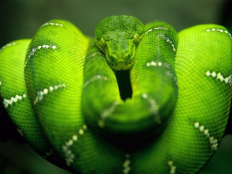 Зеленая анаконда
