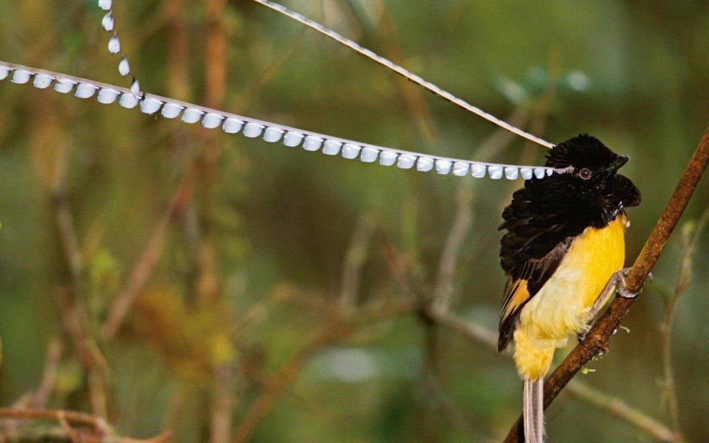 Король Саксонии, Райская птица