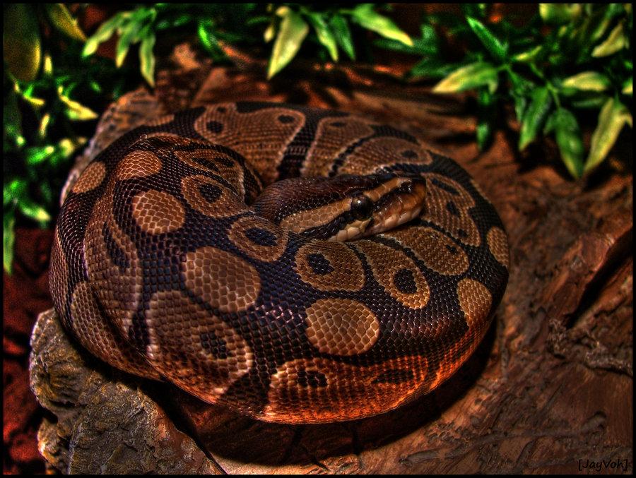 Папуасский питон