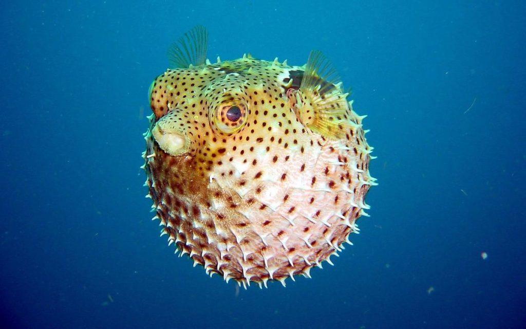 Рыба-фугу