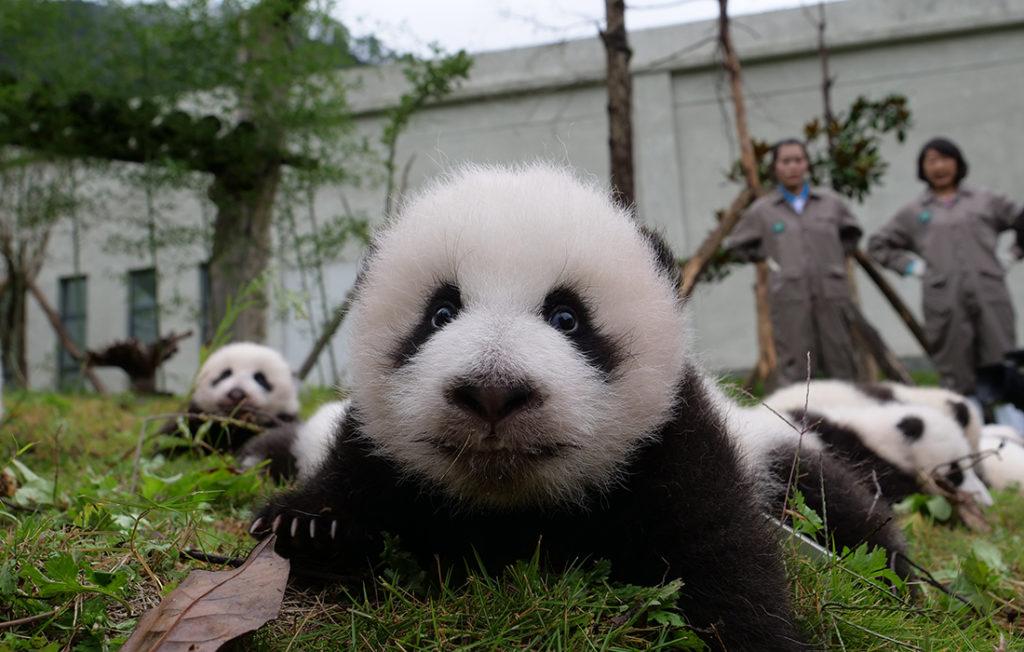 Побалуйте панд на базе Bifengxia Panda в Китае