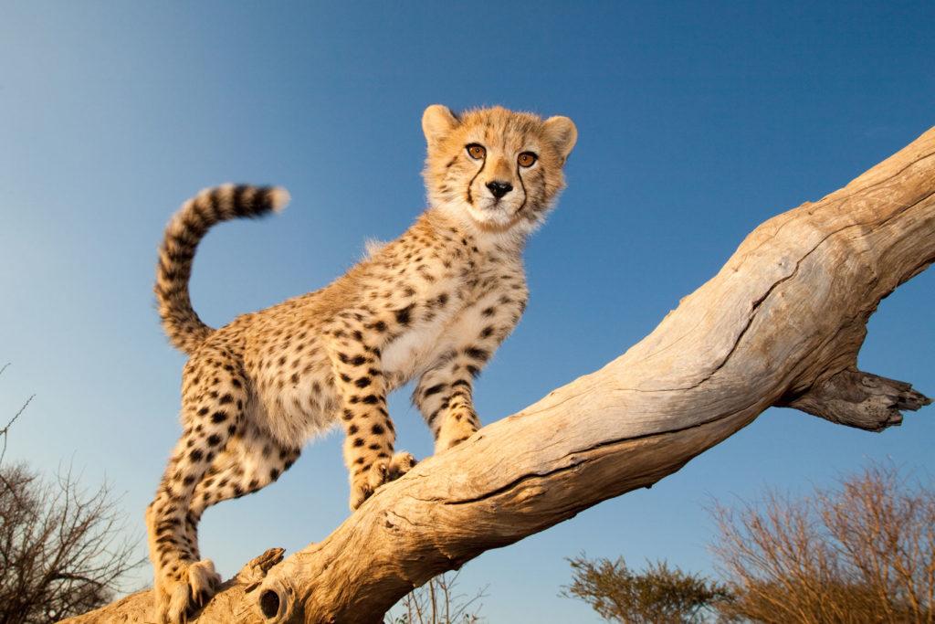 Cheetah Outreach в Южной Африке
