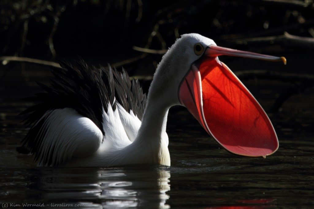 Австралийский пеликан