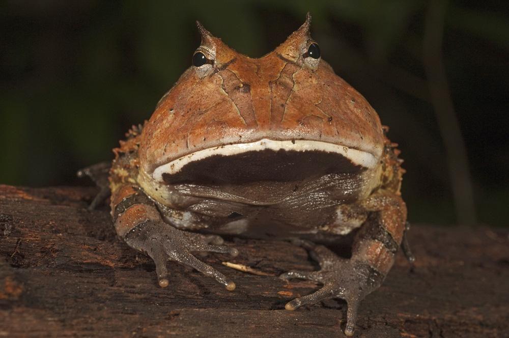 Аргентинская рогатая лягушка