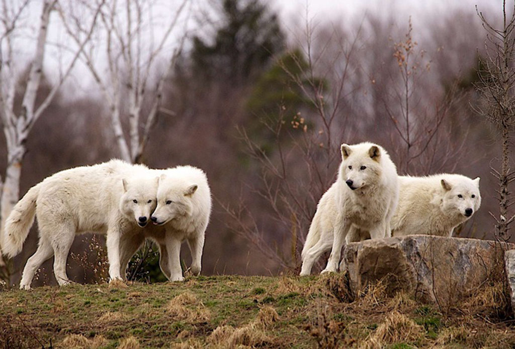 Белый Волк
