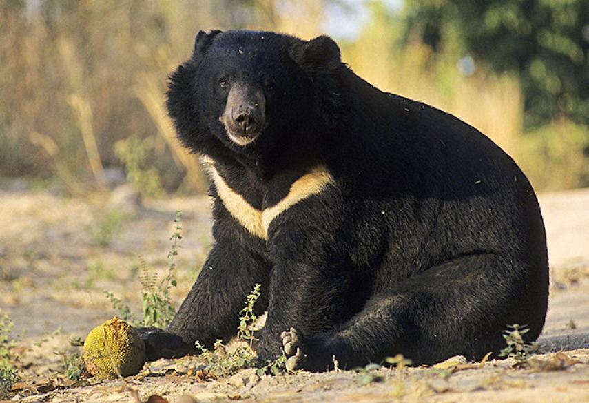Гималайский Бурый Медведь