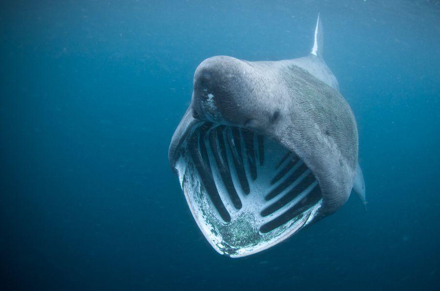 Гигантские акулы (basking shark)