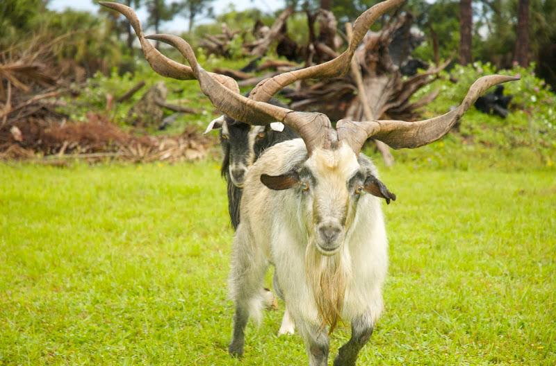 Испанский козел