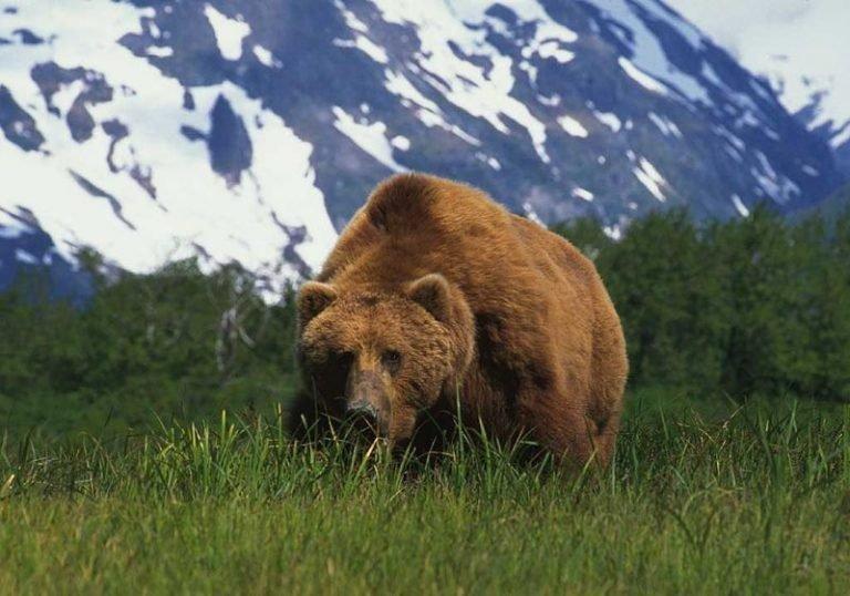 Кадьякский Медведь