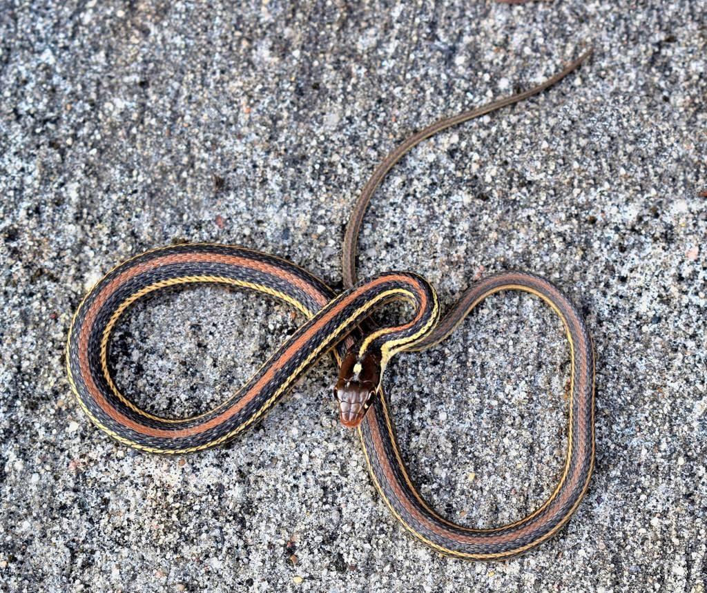 Подвязка змея