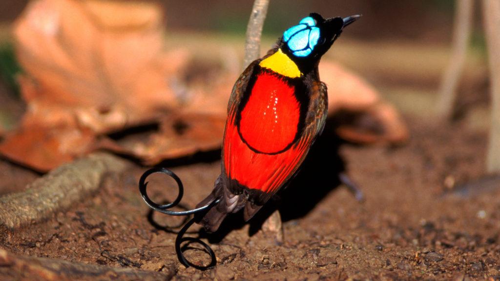 Райская Птица Уилсона
