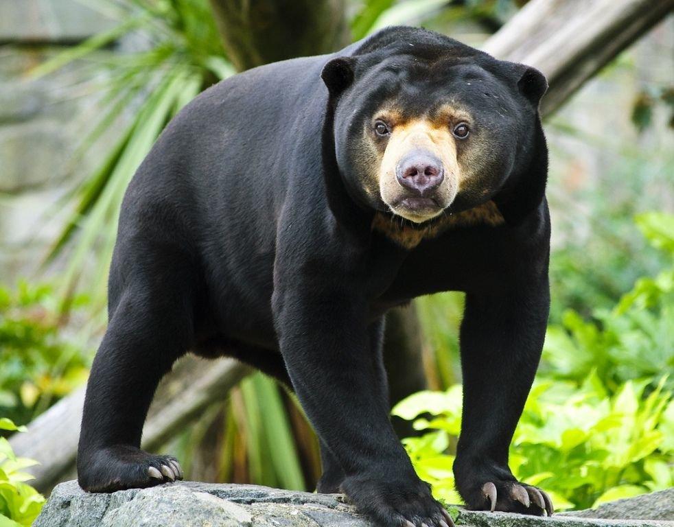 Солнечный медведь