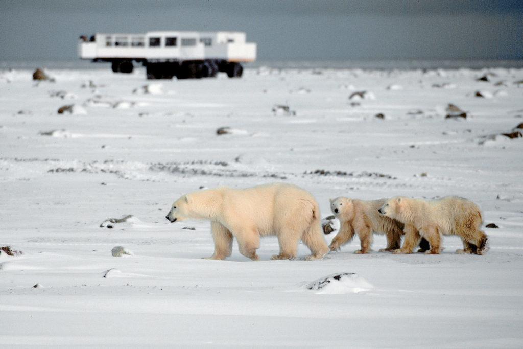 Белые медведи Черчилля