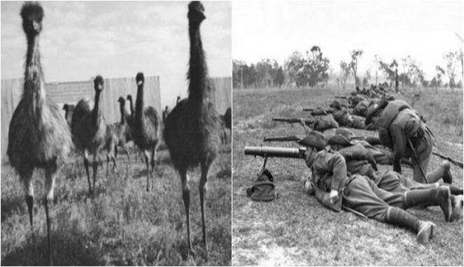 Правительство Австралии объявило войну эму