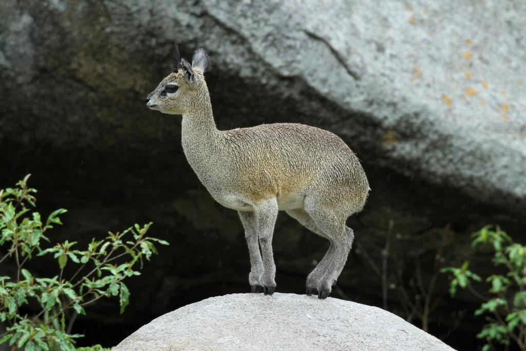 Клипспрингер (Антилопа-прыгун)
