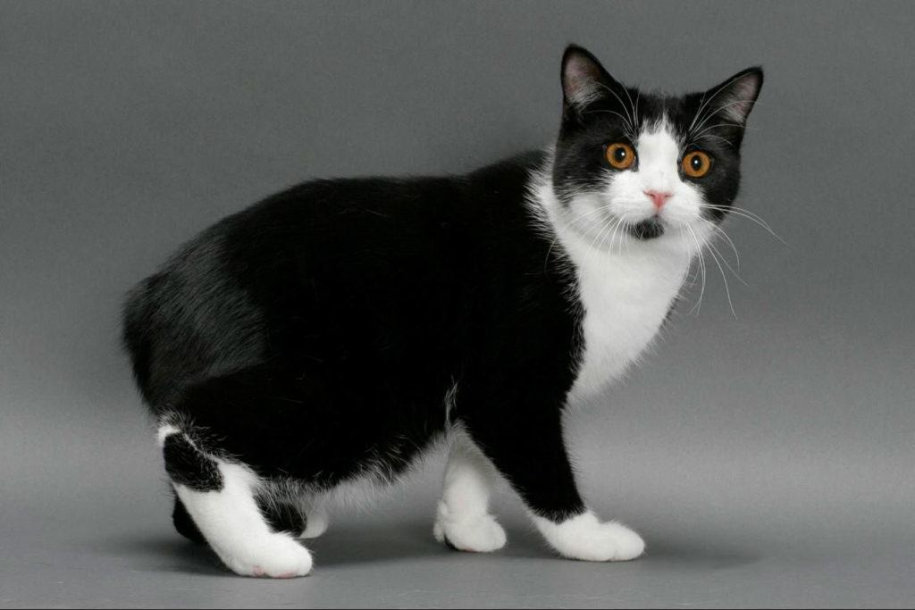 Мэнская кошка