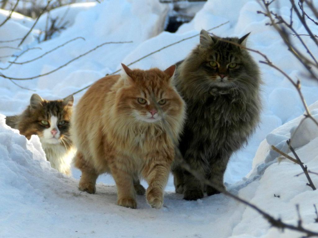 Сибирская лесная кошка